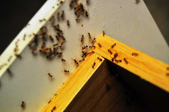 Marvelous 6 Simple Steps To Get Rid Of Ants In The Kitchen   MyCleaningSolutions.com