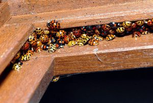 Effective Ways To Get Rid Of Ladybug Infestation In Your House
